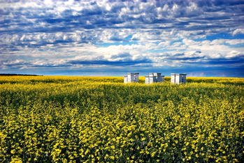 canola pollination services